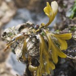 Fucus Close Up