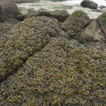 Mass of Fucus Covering a Large Area of Rocks