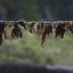 Drying Nori on a Clothes Line