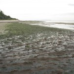 Sargassum During Receding Tide