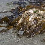 Sugar Kelp on a Rock at Low Tide